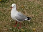 Red-Billed Gull (Croicocephalus scopulinus)